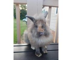 3 months old Lionhead bunny for sale