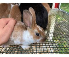 6 Rex bunnies for sale