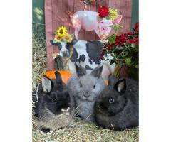 Gorgeous Netherlands Dwarf bunnies