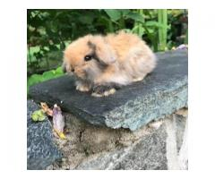 Brown tort and harliquin Holland Lop bunnies