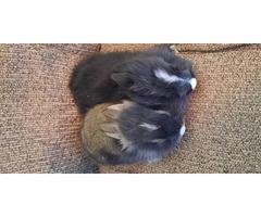 Lionhead babies for adoption