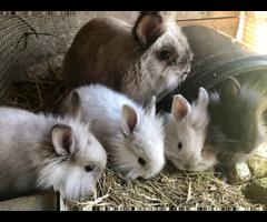 Angora Lionhead Mix Bunnies