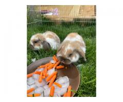 3 male Holland lops looking for a good home