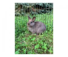 Chocolate Netherland Dwarf girl bunny
