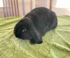Adorable mini lop doe bunny