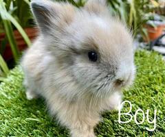 2 months old baby dwarf Lionhead bunnies