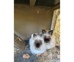 Adorable Lionhead bunnies