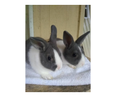 pedigreed Dutch bunnies