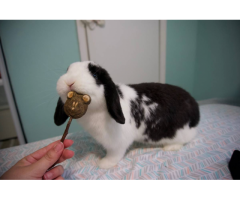 2 Holland lop female bunnies for sale