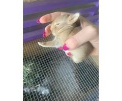 7 Mini Rex Dwarf bunnies