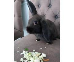 Dark brown Havana bunny looking for a new home