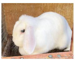 Female Holland Lop bunny for adoption