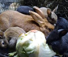 New Zealand Bunnies