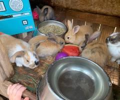 7 New Zealand Bunnies for Sale