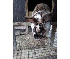 Tri color mini rex bunnies for sale