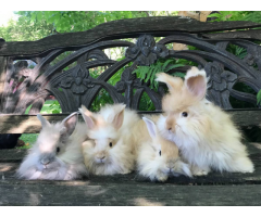 Super Sweet English Angora Baby Bunnies