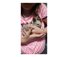 Lionhead baby bunnies needing a new home