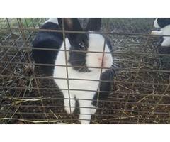3 standard dutch bunnies for sale