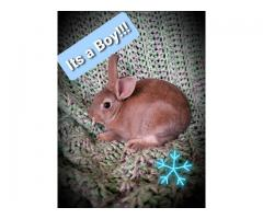 Baby Mini rex bunnies looking for a forever home