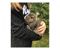 12 weeks old mini lop for sale
