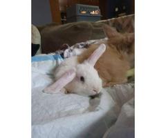Adorable Dwarf Holland Lop Bunny