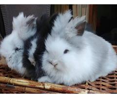 3 Double Maned Lionhead Bunnies