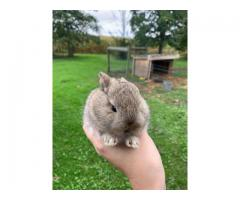 Buck and doe Pedigree Netherland Dwarf bunnies