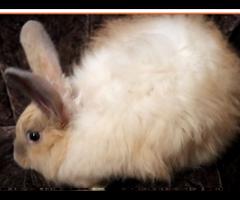 French Angora Rabbit in Northwest Arkansas