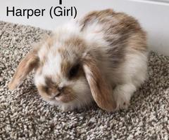 Beautiful Mini Lop bunnies